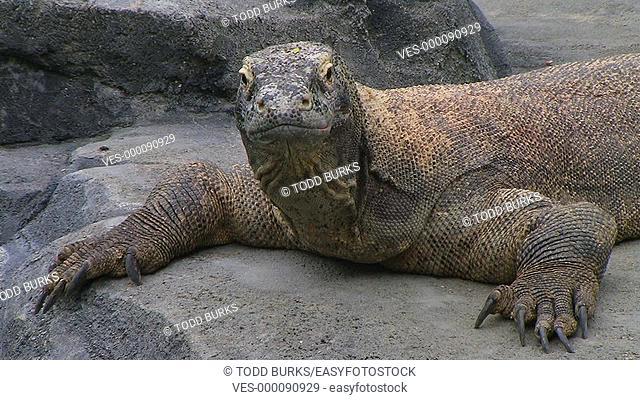 Komodo dragon yawning, largest living species of lizard