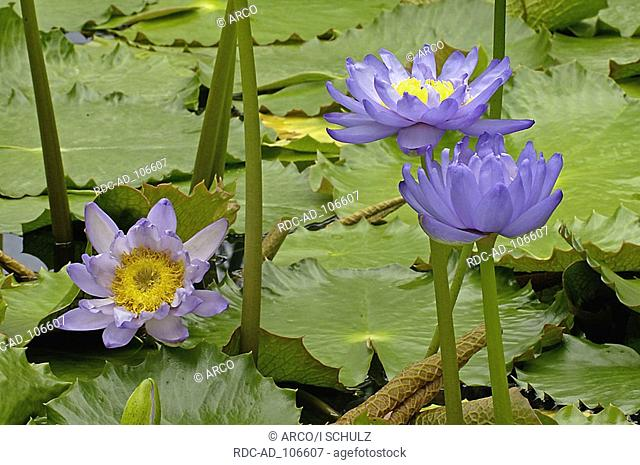Giant Water Lily Brazil Victoria amazonica Amazon Water Lily
