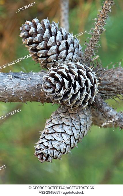 Shore pine cones along Taylor Dune Trail, Oregon Dunes National Recreation Area, Oregon