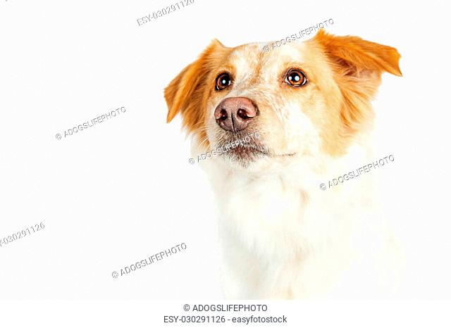 Closeup portrait of mixed Border Collie breed dog with attentive expression looking up. Isolated on white