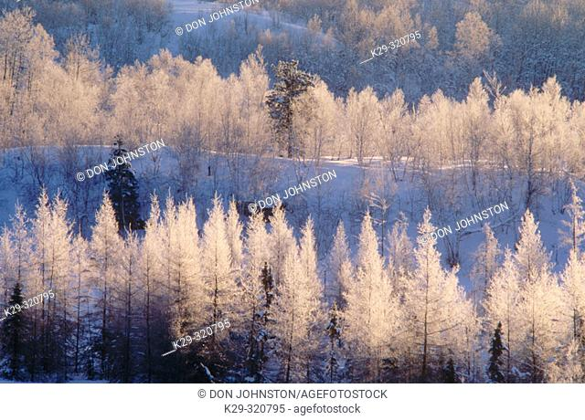 Frosted larch trees at sunrise. Walden. Ontario. Canada
