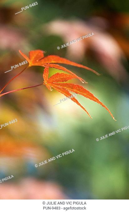 Acer palmatum Atropurpureum leaves showing spring colours