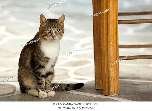 Street cat posing under the table at a restaurant, Little Venice, Mykonos, Cyclades Islands, Greek Islands, Greece, Europe