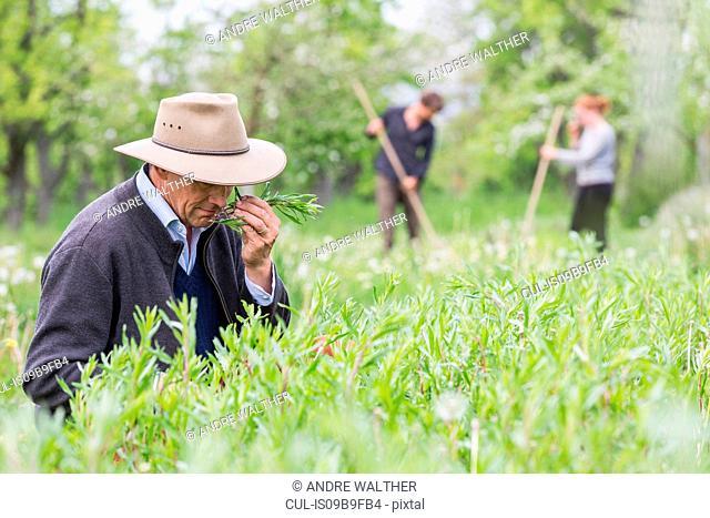 Farmer quality smelling crop in field