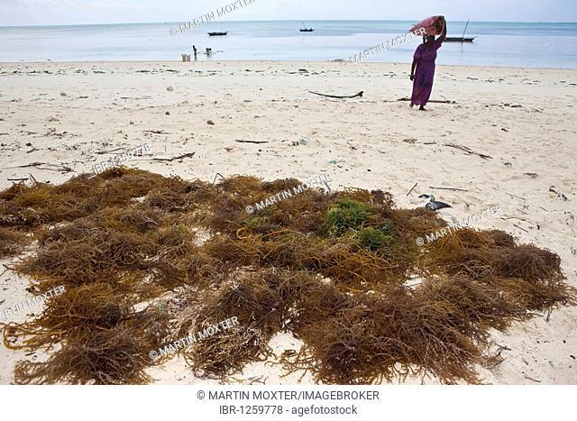 Woman carrying freshly harvested seaweed in a sack on her head, Jambiani, Zanzibar, Tanzania, Africa