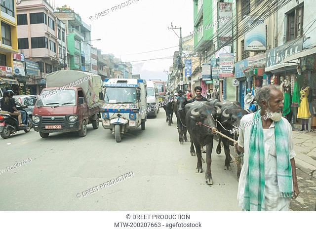 Farmer with water buffaloes in the traffic, Kathmandu, Nepal