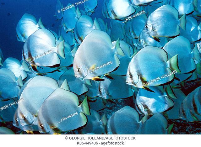 Circular spadefish or Batfish (Platax orbicularis), school. Malaysia