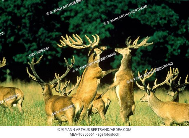 RED DEER - herd with two stags fighting (Cervus elaphus)