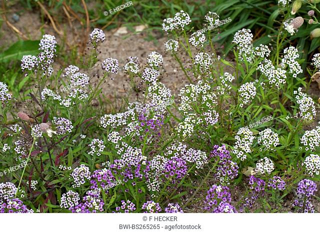 Sweet Alison, Sweet Alyssum, Seaside Lobularia Lobularia maritima, blooming