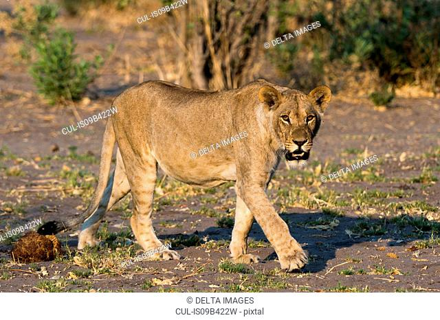 Portrait of a lioness (Panthera leo) walking, Savuti marsh, Chobe National Park, Botswana