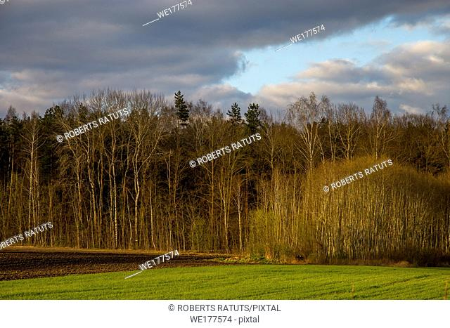 Green field with cereal and forest on the back, against a blue sky. Spring landscape with cornfield, wood and cloudy blue sky