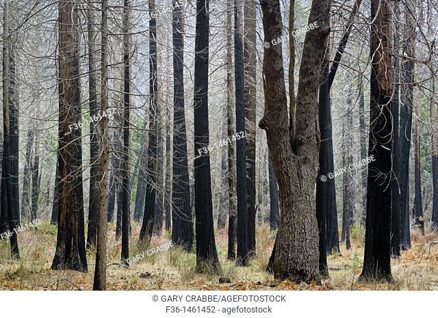 Barren trees in burnt forest, Yosemite Valley, Yosemite National Park, California
