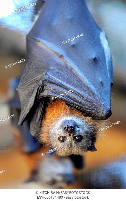 A close up Shot of an Australian Flying Fox