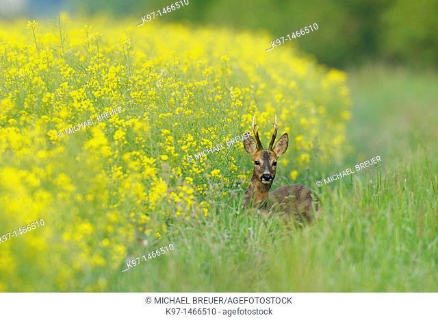 Roe buck in spring, Capreolus capreolus, Hesse, Germany, Europe