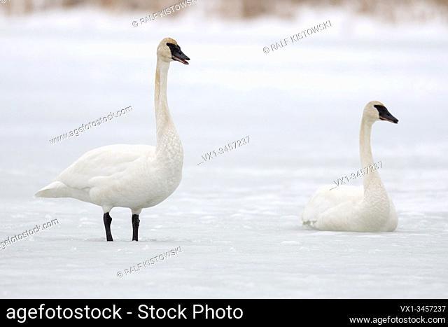 Trumpeter Swans / Trompeterschwaene ( Cygnus buccinator ), pair of, calling, on ice, frozen river, Grand Teton National Park, USA