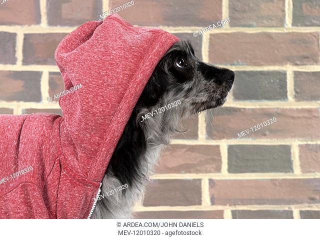 DOG. Pyrenean Sheepdog wearing a hoodie