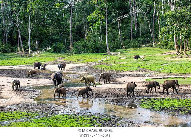 African forest elephants (Loxodonta cyclotis) at Dzanga Bai, UNESCO World Heritage Site, Dzanga-Sangha Special Reserve, Central African Republic, Africa