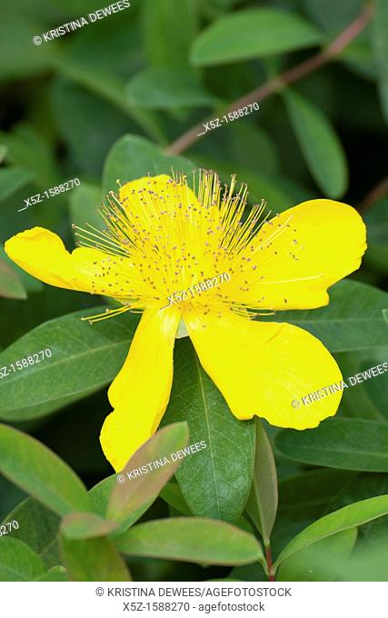 A single bright yellow St  John's Wort blossom