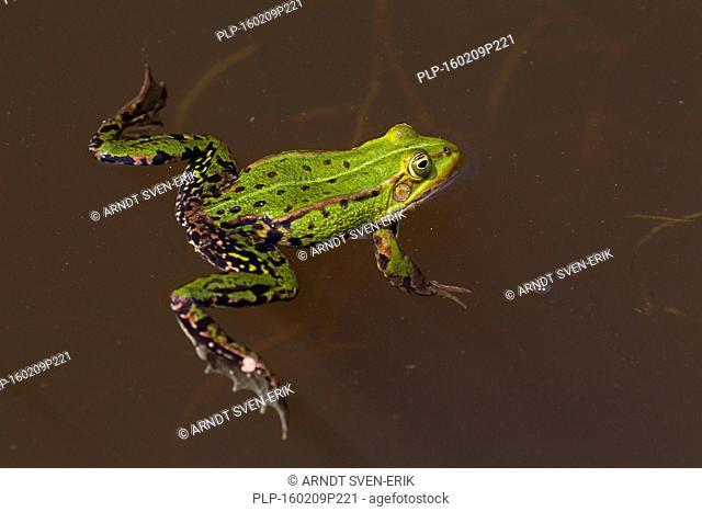 Edible frog / common water frog / green frog (Pelophylax kl. esculentus / Rana kl. esculenta) floating in pond