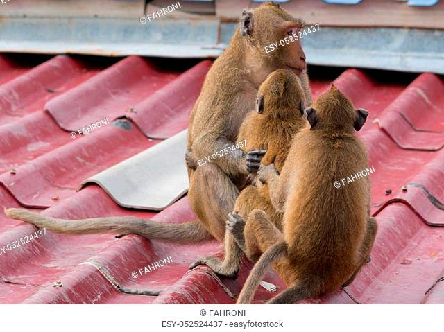 A teenage monkeys sits on the roof of the house