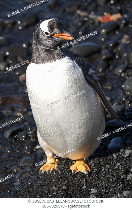 Antarctica. Gentoo penguin (Pygoscelis papua) on the rocky beach of Brown Bluff. East coast of Tabarin Peninsula, on the South-western coast of the Antarctic...
