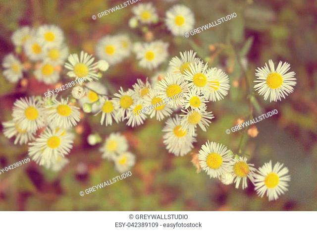 Chamomile romantic vintage tinted. Chamomiles background, flowers in the sunny summer day