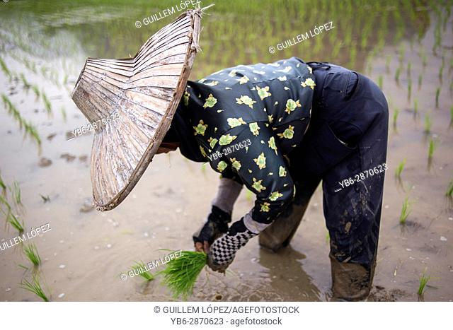 A woman works in a rice field at the Harau Valley, Sumatra, Indonesia