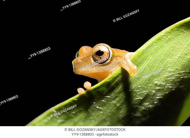 Tree Frog - La Selva Jungle Lodge, Amazon Region, Ecuador