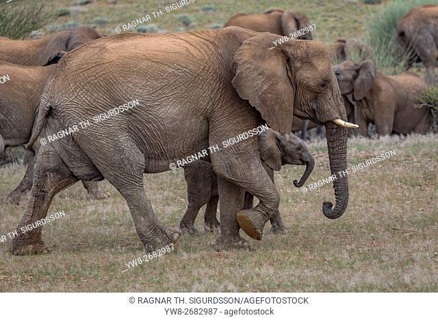 Elephants, Damaraland, Namibia, Africa
