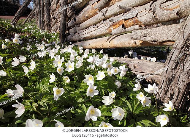 Wood anemone and fence, Småland, Sweden