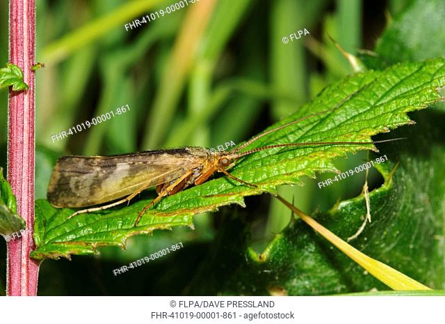 Cinnamon Sedge Caddisfly Limnephilus lunatus adult, resting on leaf, Priory Water Nature Reserve, Leicestershire, England, May