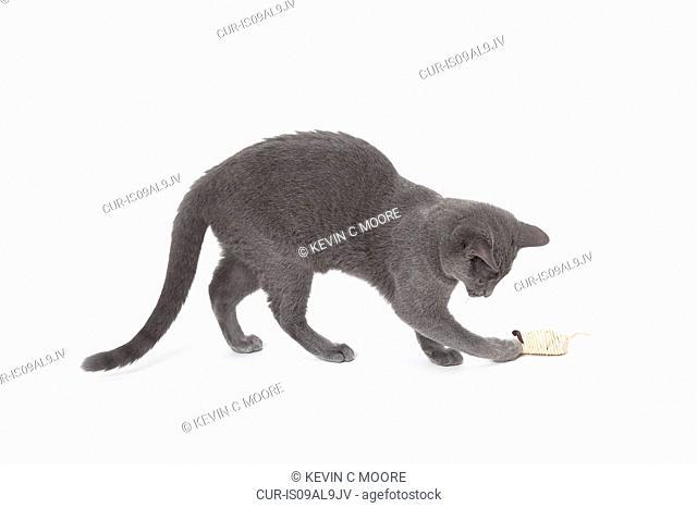Russian Blue cat playing