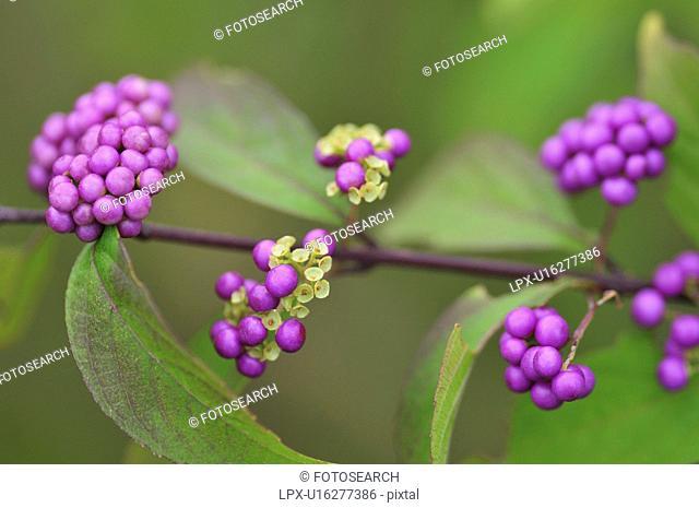 Purple Beautyberries Callicarpa dichotoma, Chiba Prefecture, Honshu, Japan
