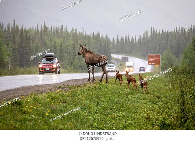 Cow moose (Alces alces) with rare triplet calves try to cross the Park Road in a rainstorm, however, turned back and went into the woods possibly because of the...