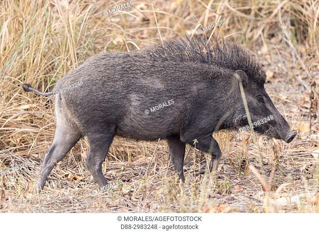 India, State of Assam, Kaziranga National Park, Indian wild boar (Sus scrofa)