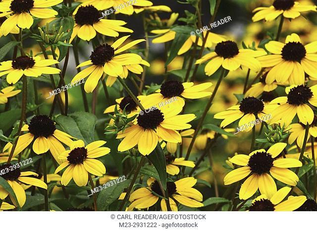 A mass of black-eyed susans, Pennsylvania, USA