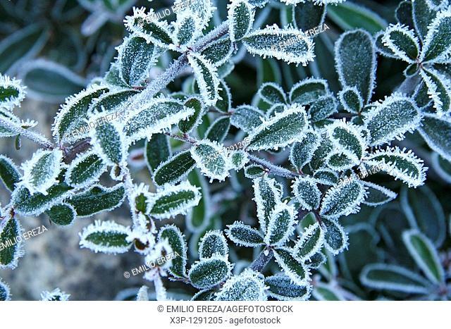 Frozen plant  Piracantha sp