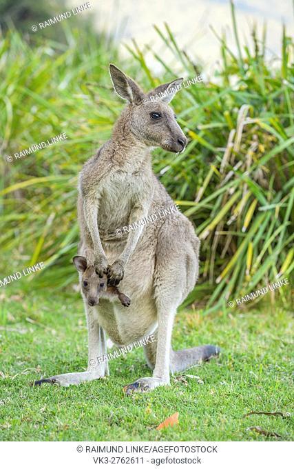 Grey Kangaroo, Macropus giganteus, Female with Joey in Pouch, Murramarang National Park, New South Wales, Australia