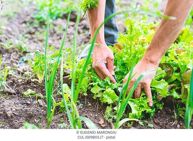Man's hands picking fresh salad greens in garden