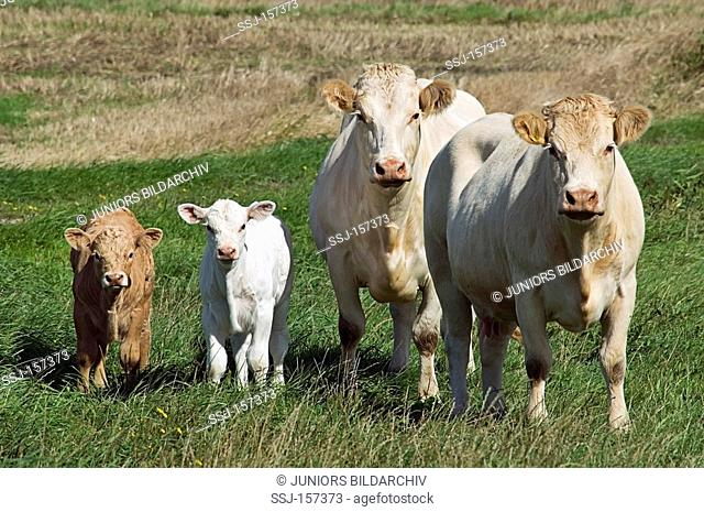 cows and two calves on meadow