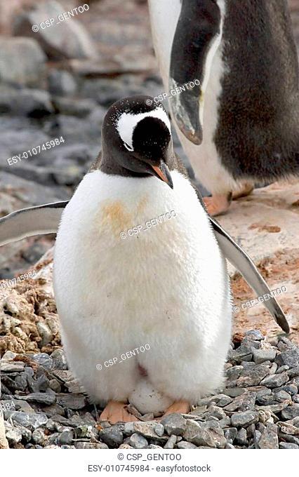 Gentoo penguin (Pygoscelis papua) incubating an egg on Goudier Island, Antarctica