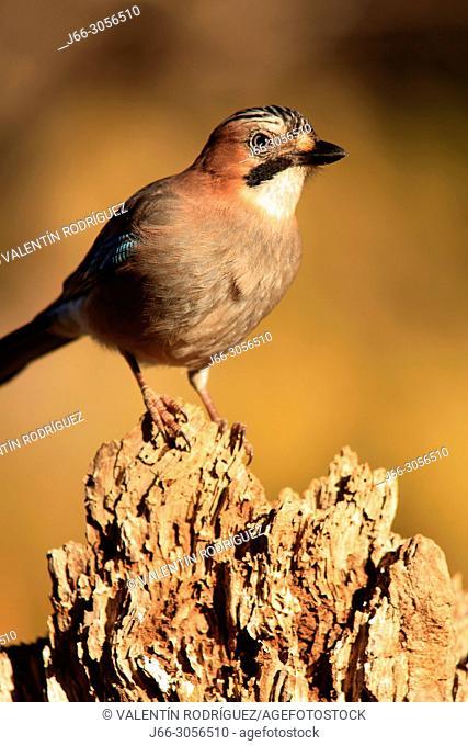Jay (Garrulus glandarius) in the Los Serranos region. Valencia