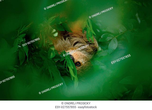 Sloth hidden in the dark green vegetation
