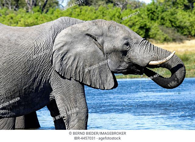 African bush elephant (Loxodonta africana) drinking at waterhole, Moremi National Park, Botswana
