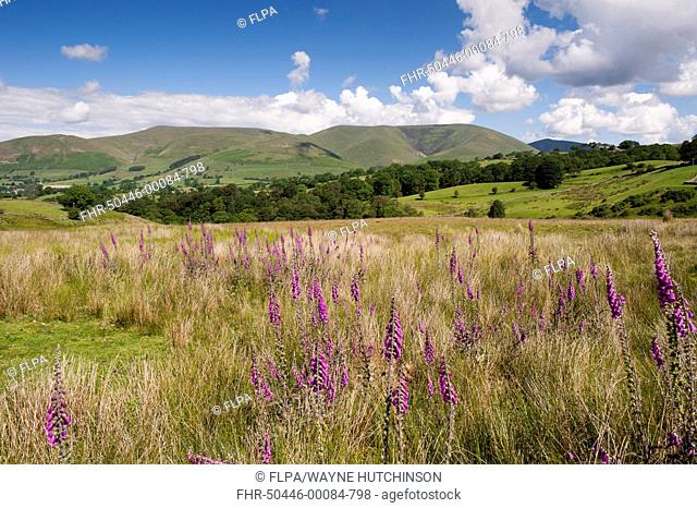 Common Foxglove (Digitalis purpurea) flowering, growing in upland pasture, with fells in background, Eastern Howgill Fells, near Sedbergh, Cumbria, England