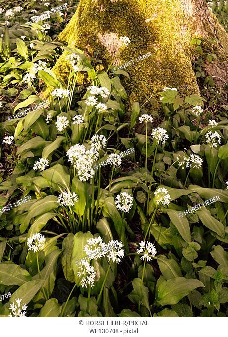 Blooming wild garlic, Baden Baden, Baden Wuerttemberg, Germany