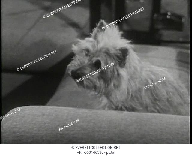 Terrier sitting on couch