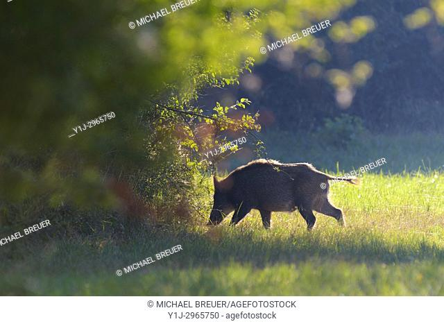 Wild boar (Sus scrofa) in summer, Hesse, Germany, Europe