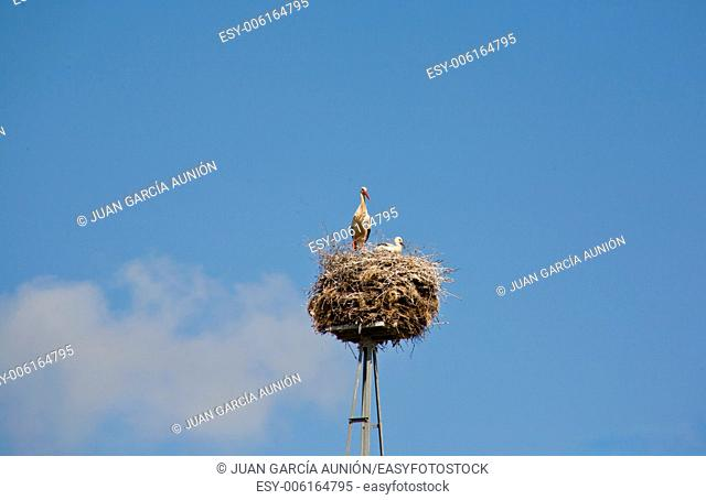 Family of storks is in a nest over blue sky, Extremadura, Spain