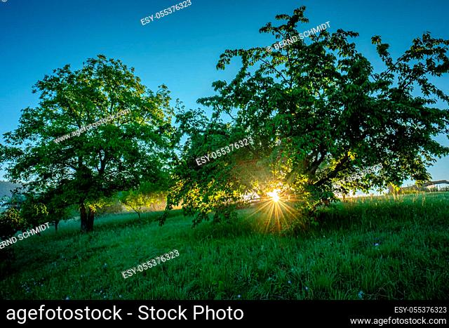 Cherry trees in sunrise with sunbeams scenery